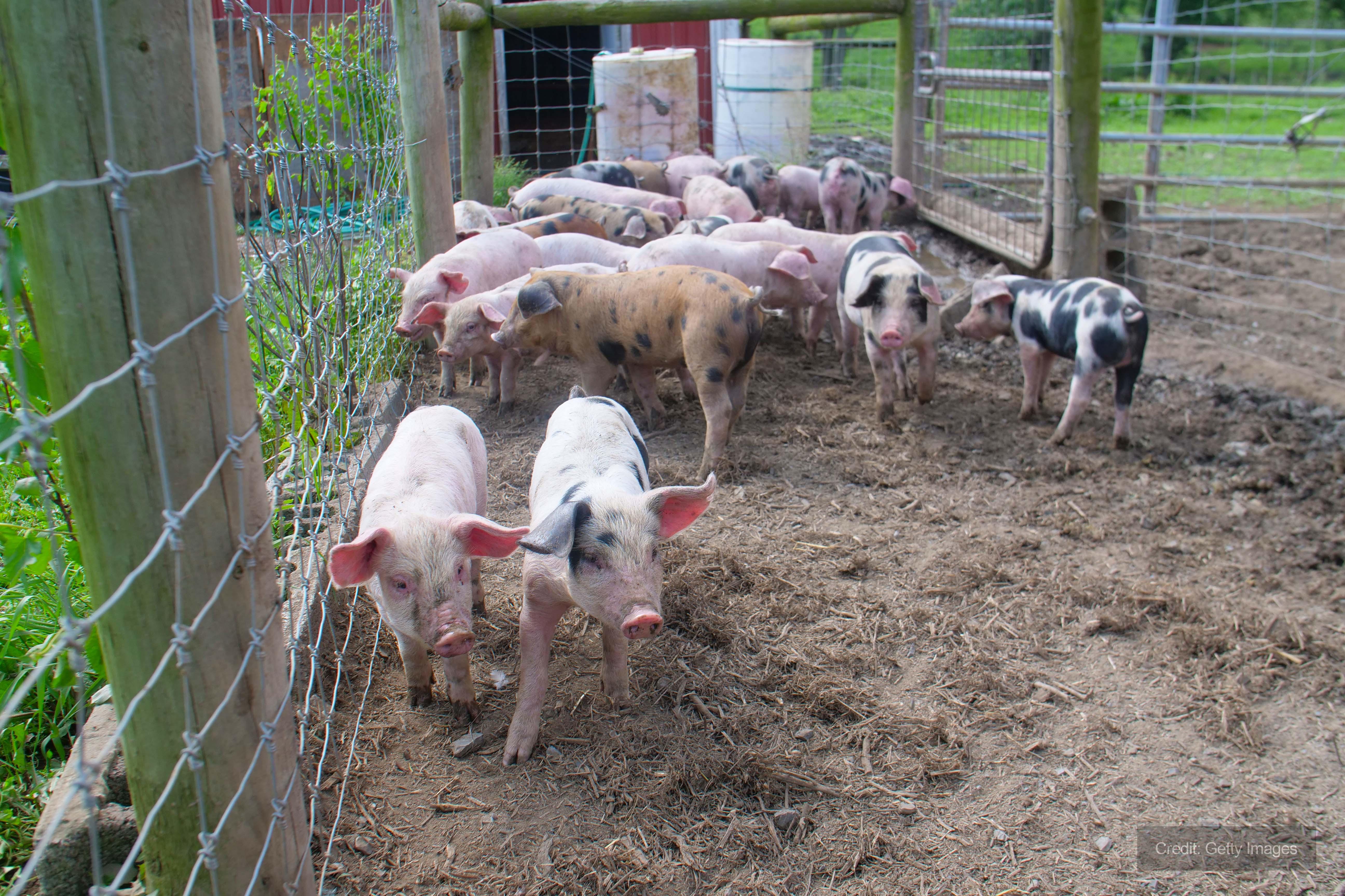 Andrews Dehumidification assist Midlands pig farm