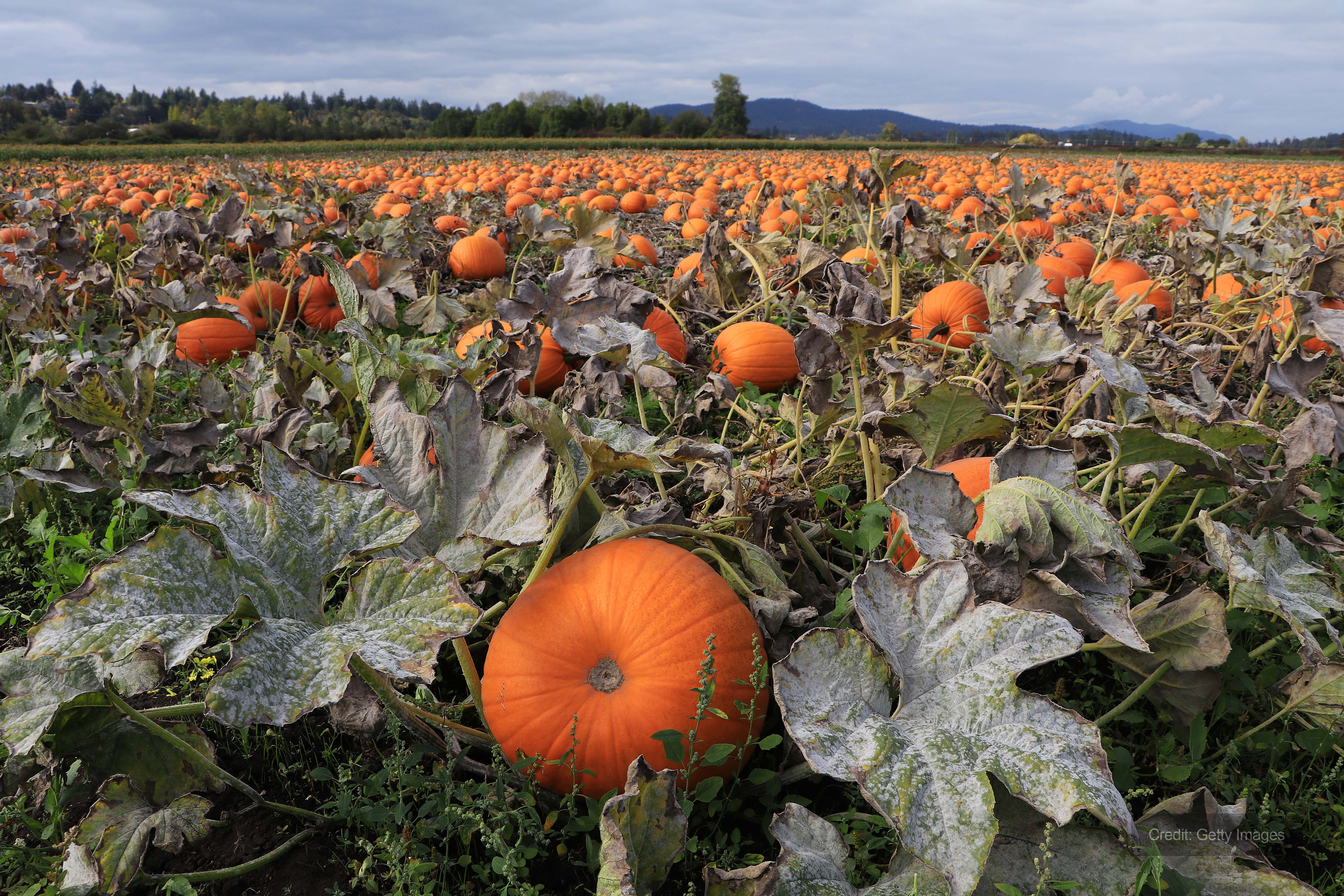 Specialist farm hire ventilation to protect pumpkin yield