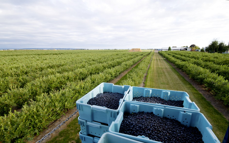 Blueberry yield protected during summer heatwave